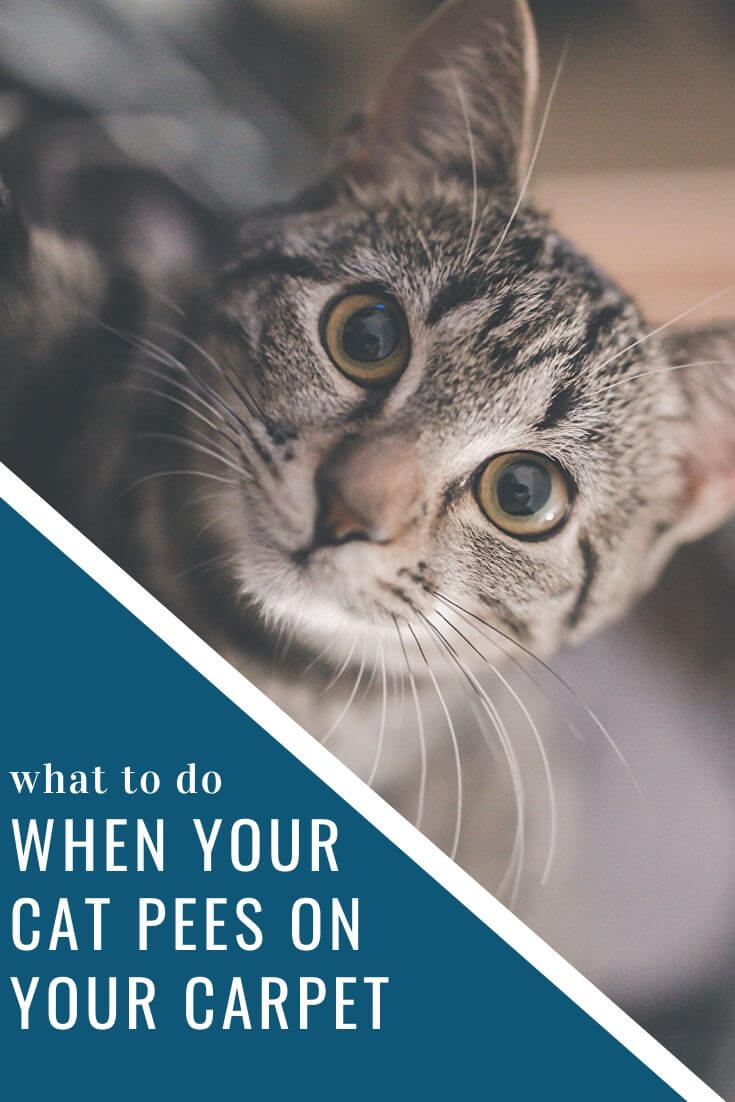 What to Do When Your Cat Pees on Your Carpet